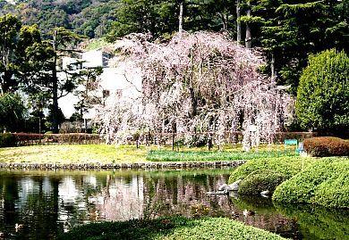 H27.3 城北公園枝垂れ桜-2