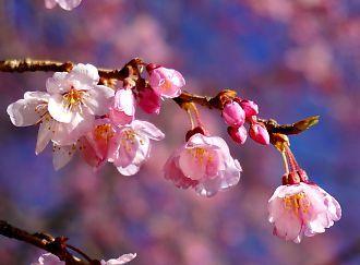 H27.3 城北公園枝垂れ桜-4