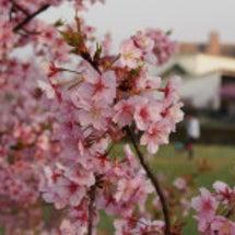 倉敷の河津桜