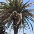 フェニックスの木に咲…