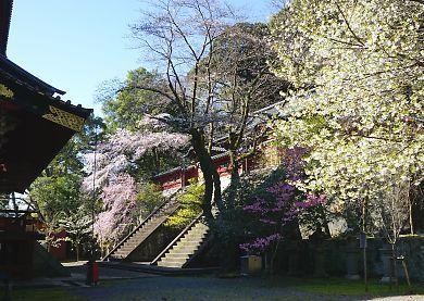 H27.3.25 静岡市桜情報-6