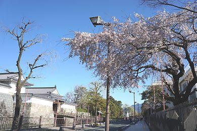 H27.3.25 静岡市桜情報-1