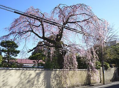 H27.3.25 静岡市桜情報-7