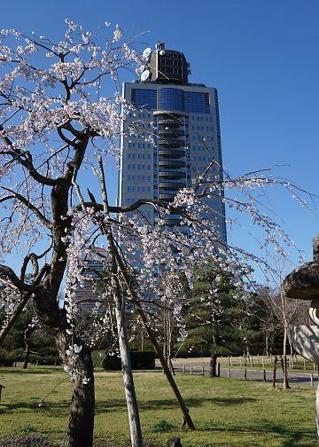 H27.3.25 静岡市桜情報-2