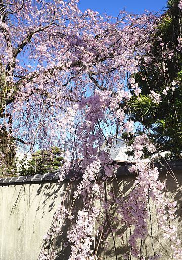 H27.3.25 静岡市桜情報-8