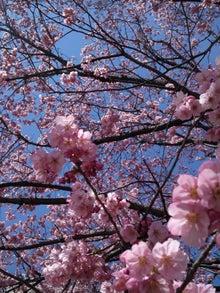 15.4桜