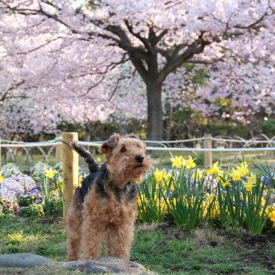 wat&桜