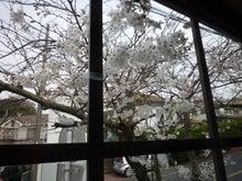 2015年桜