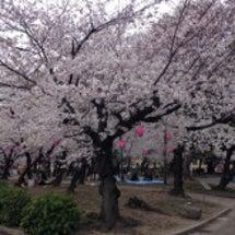 鶴舞公園の桜はこんな…