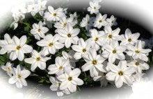 330白い花々