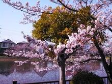 こざと沼の桜
