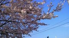 20150331水元公園の桜