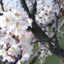 *お花見*