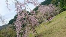 いちき串木野市 観音ヶ池 しだれ桜