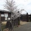 大門前の桜も満開に