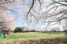 鷲宮コミュニティ広場の桜
