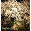 六義園のしだれ桜ライ…