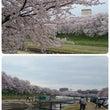 後楽園の桜2015 …
