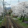 嵐電 桜のトンネル①