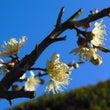梅。咲き誇る
