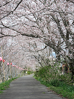 太田川沿いの桜並木(森町)