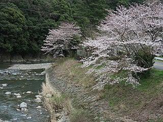 太田川と桜