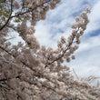 桜が満開だより