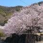 桜満開・春到来201…