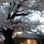 立教大学の桜