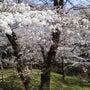 桜満開、天覧山ハイキ…