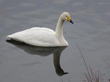 優雅な白鳥