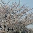 桜満開。桜の香りと土…
