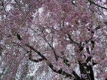 枝垂れ桜④