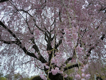 枝垂れ桜③