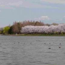 東京近郊の桜