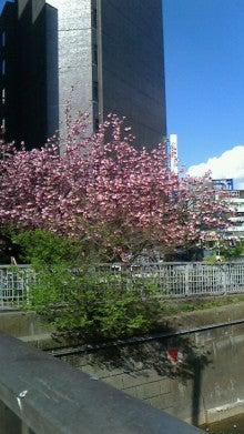 目黒川の八重桜