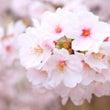 お花見でバーベキュー…