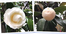 咲く花y蕾の花