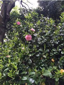 camellia419