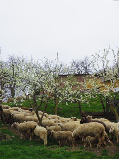 イタリア チーズ造り&農場訪問