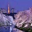 東京夜桜2015-2