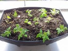 プチトマトの苗2