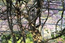 あけぼの藤の幹
