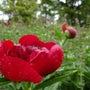 真紅のシャクヤクが咲…