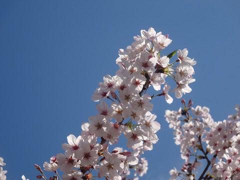 桜,巣鴨駅前〈著作権フリー画像〉Free Stock Photos
