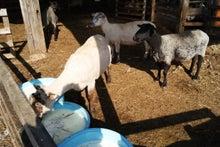 茶路めん羊牧場