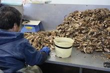 牡蠣選別作業