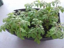 プチトマトの苗の現状