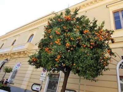 オレンジの樹