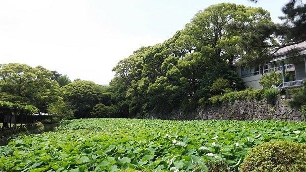 堀をうずめるハスの葉